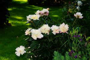 growing-and-buying-peonies