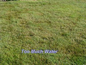 Turf Care tip #1 Do not water too much